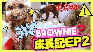 【🐶BROWNIE成長記#2】第一次洗澡的反應?竟然搶MUFFIN的食物?😲(中字)