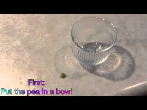 How To Feed Your Betta Fish A Pea