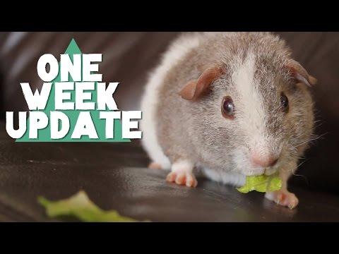 Baby Guinea Pig - ONE WEEK UPDATE