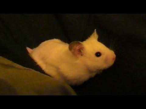 Lap Ham (relaxing video 😌💤)