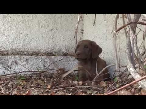 Picking up our chocolate labrador puppy 8 weeks old
