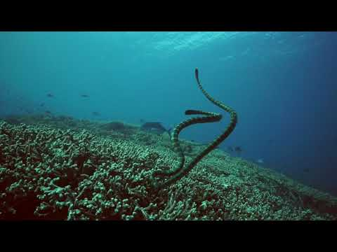 Sea Snakes & Trevally at Pulau Manuk