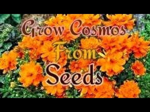 How to Grow COSMOS and BALSAM from Seeds at home.