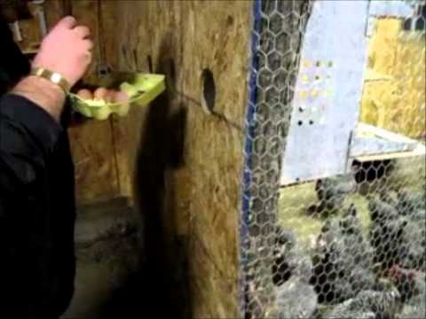 Patrick Feeds The Chickens