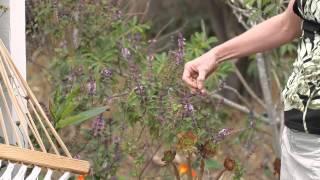 How To Prune A Basil Bush Green Savvy
