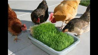 Παραγωγή φθηνής αλλά θρεπτικής ζωοτροφής στο σπίτι καθε ΜΕΡΑ!!
