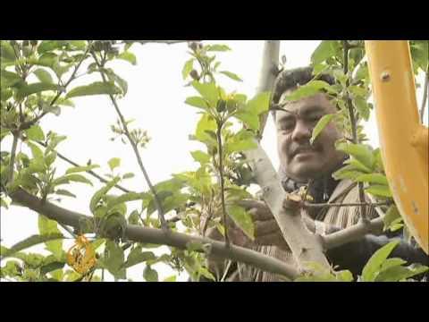 Kiwi apples: Aussies' forbidden fruit