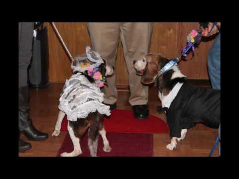 Beagle Wedding