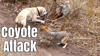 Download Coyote Attacks Cat - Dog Saves Cat Video