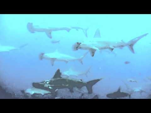 Schooling Hammerhead Sharks - Galapagos Islands
