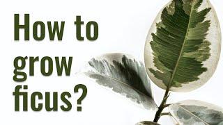 FICUS ELASTICA PROPAGATION FROM LEAVES | PLANT REJUVENATION