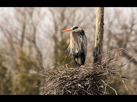 Great Blue Heron Tidies Up The Nest