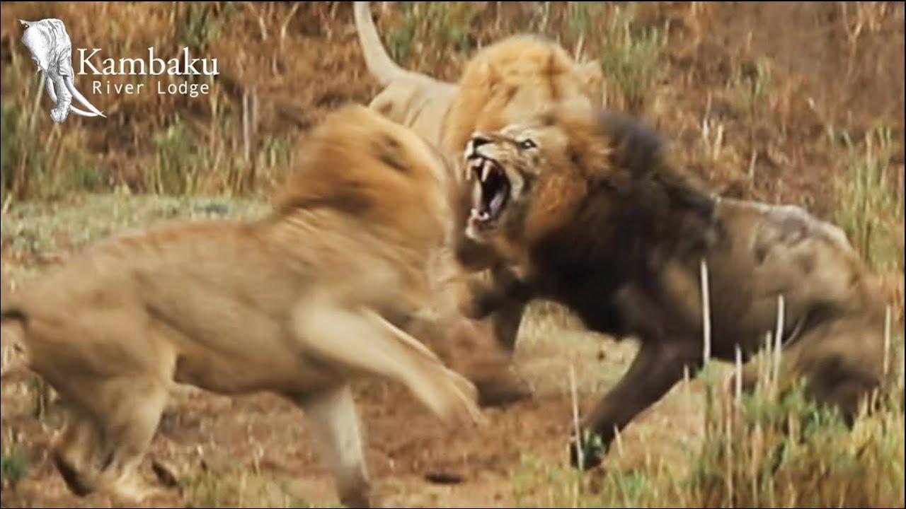 Old Lion King Fights His Final Battle at Kruger Park | Wildest Africa