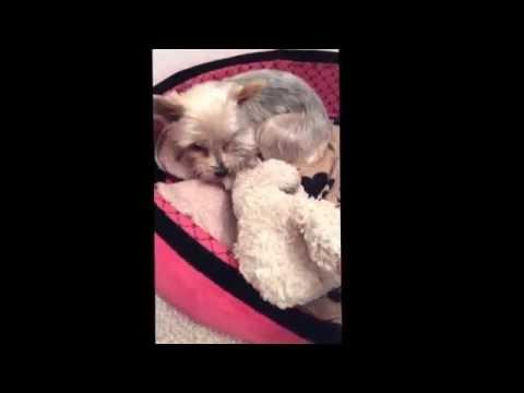 Phantom pregnancy in dogs Yorkshire terrier