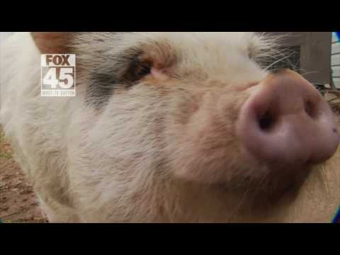 Family in New Carlisle, Ohio has created a petition to keep pet pig