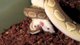 Ball Pythons Live Feeding