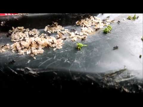 Ants on a Garbage Can