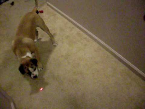 Dog Chasing Laser Pointer