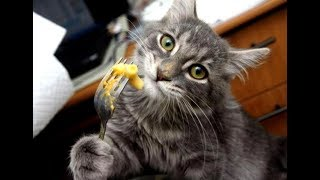 TRY TO WATCH these FUNNY CATS without LAUGHING - Funny CAT compilation