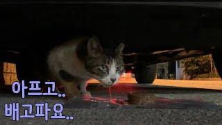 [ENG SUB]구내염으로 아파보이는 길고양이 침때문에 밥도 못먹네요 a sick cat