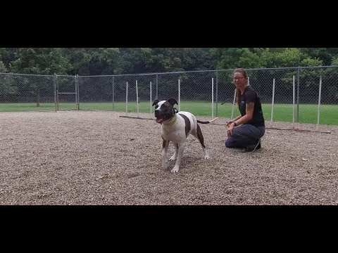 Best Dog Training in Columbus, Ohio! 3 Year Old Pit Bull, Jade!