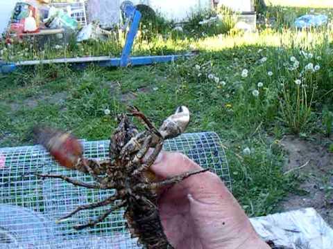 crawfishing in Washington state #3