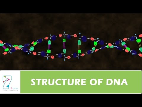STRUCTURE OF DNA PART 2