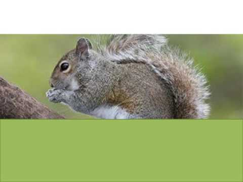 How to Get Rid of Squirrels in Attic?