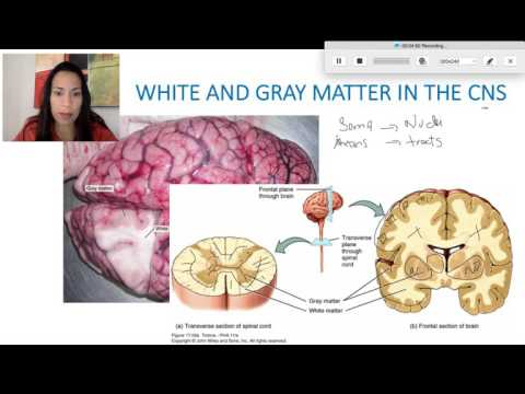4. Gray and White Matter