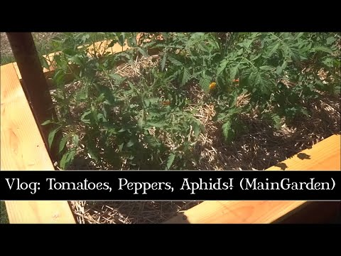 Tomatoes, Peppers and Aphids!