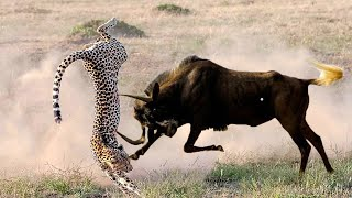 Flying Cheetah! Mother Wildebeest Launches Cheetah Into The Air To Save Baby, Lion vs Leopard