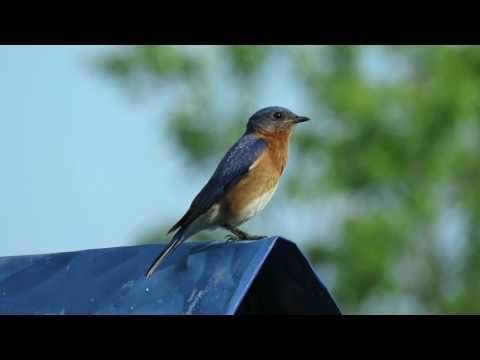 Eastern Bluebird April 28 2017 Pelzer SC