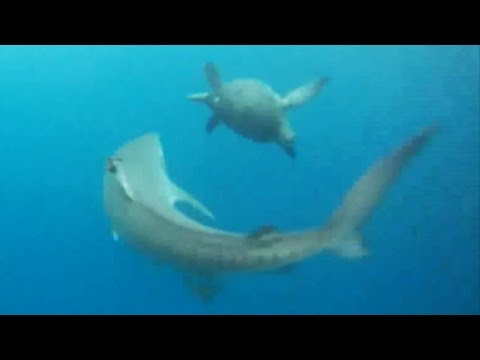 Crafty Turtle Avoids Being Tiger Shark's Dinner