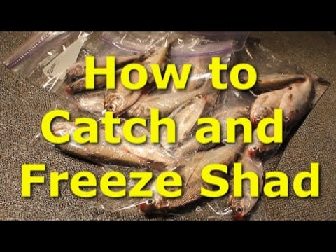 Catch shad with cast net and sonar - how to freeze shad.