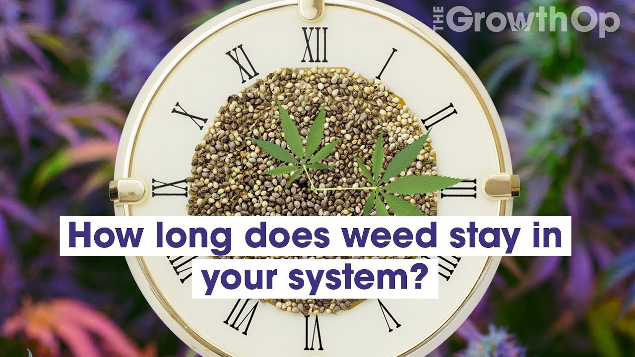 How long does cannabis stay in your system | Weed Easy