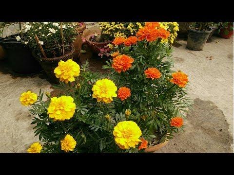 गेंदे के पौधे से पाएं सैंकड़ो फूल|| How to get more flowers from marigold plant!
