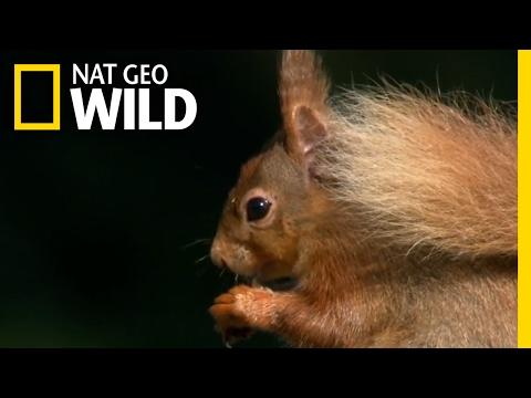 Where Red Squirrels Live | Destination WILD