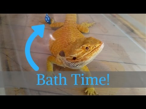 Bearded Dragon (Blaze) - Enjoying Bath Time // 4K UHD.