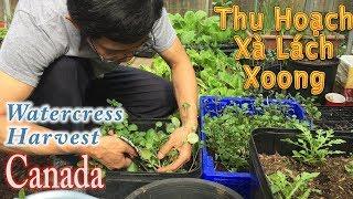 Thu Hoạch Xà Lách Xoong Chia Sẻ Cách Mình Trồng | Harvesting Watercress