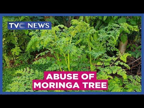 Experts warn against abuse of Moringa tree