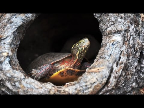 How to Understand Turtle Behavior | Pet Turtles