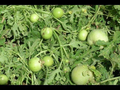 How To Grow  Apple Gourd /Tinda from seed IN URDU/hindi