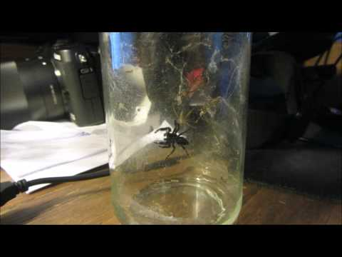 Bold Jumping Spider vs. Yellow Sac Spider