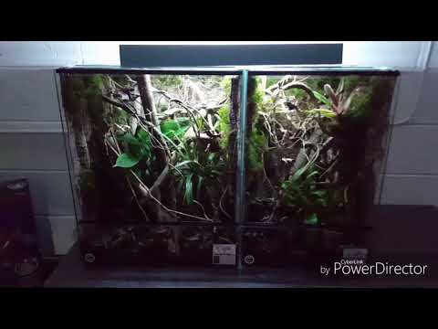 Crested gecko Leachie gecko natural enclosure