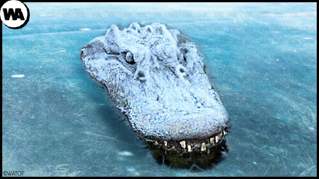 Never Pull a Frozen Crocodile Out of Ice