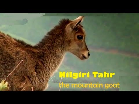 Nilgiri Tahr and Munnar | Know all about these mountain goats & Munnar