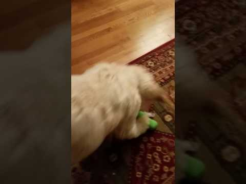 Teaching Service Dog How to Find and Retrieve Purse with Medicine