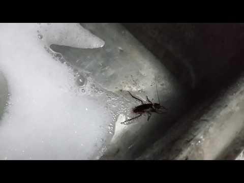 Roaches Drain Killer