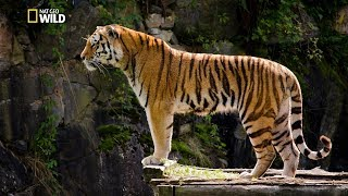 Asian Big Cats - Tigers Revenge [National Geographic Documentary HD 2017]