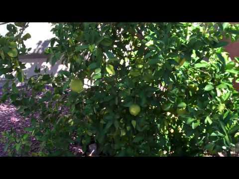 grapefruit tree - Tucson AZ